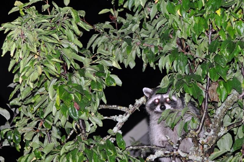 raccoon, fruit tree, tacoma