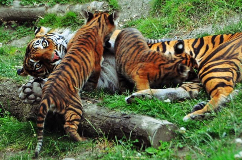 point defiance, zoo, tigers, cubs, tacoma, washington, state