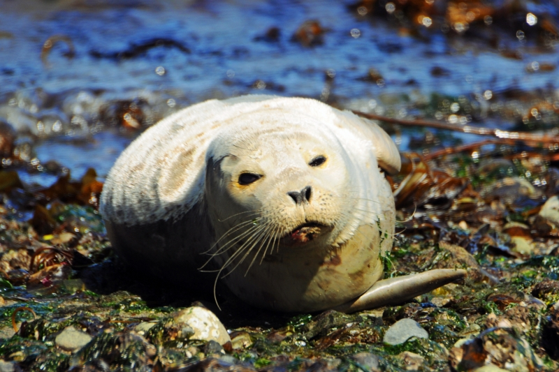 point defiance, low tide, seal, pup