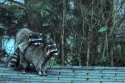 raccoons, 8:15am, backyard