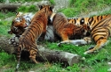 point defiance, zoo, tigers, cubs, tacoma, washington, state